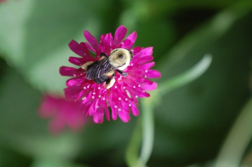 Bumblebee on knautia