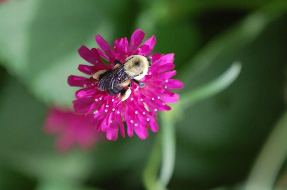 Bumble bee on Knautia macedonica
