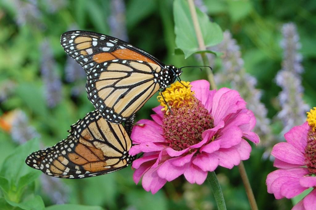 Monarch Butterflies on Zinnia