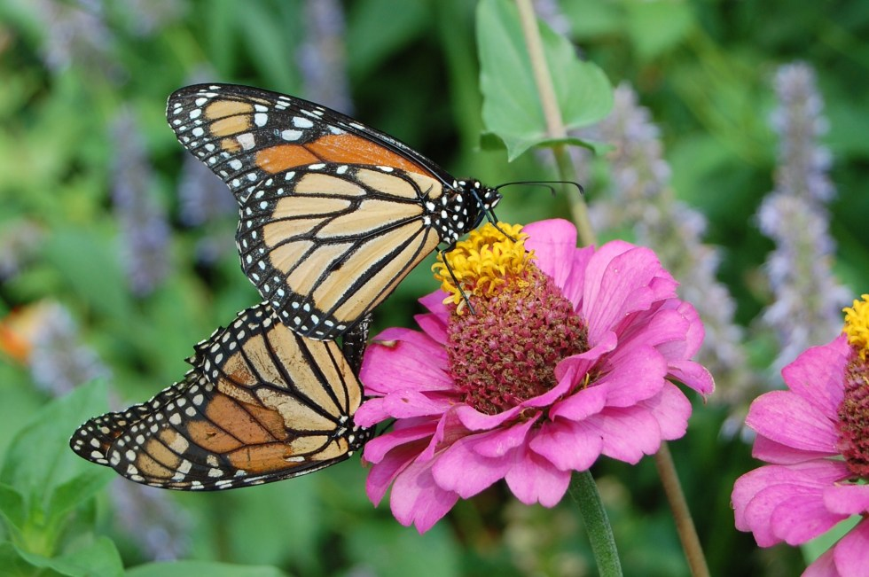 Monarch Butterflies on Zinnia