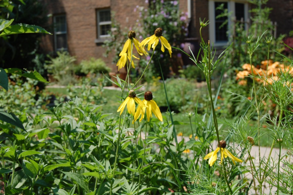 Grey headed coneflower, Ratibida pinnata