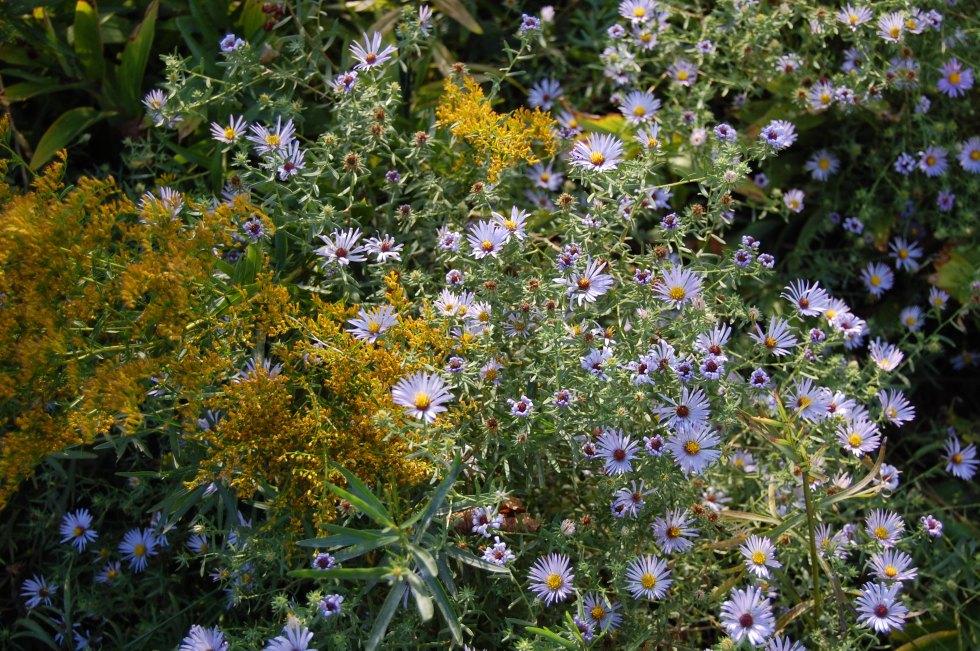 Aromatic Aster, Symphyotrichum oblongifolius, Anise Scented Goldenrod, Solidago odora