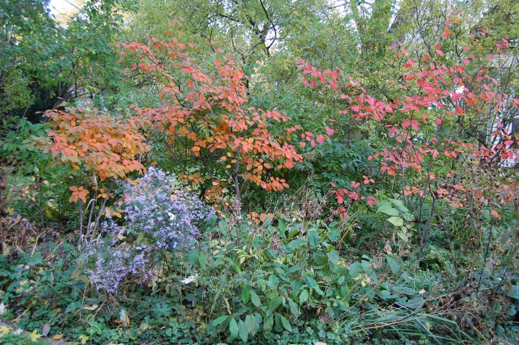 Serviceberry 'Autumn Brilliance', Amelanchier