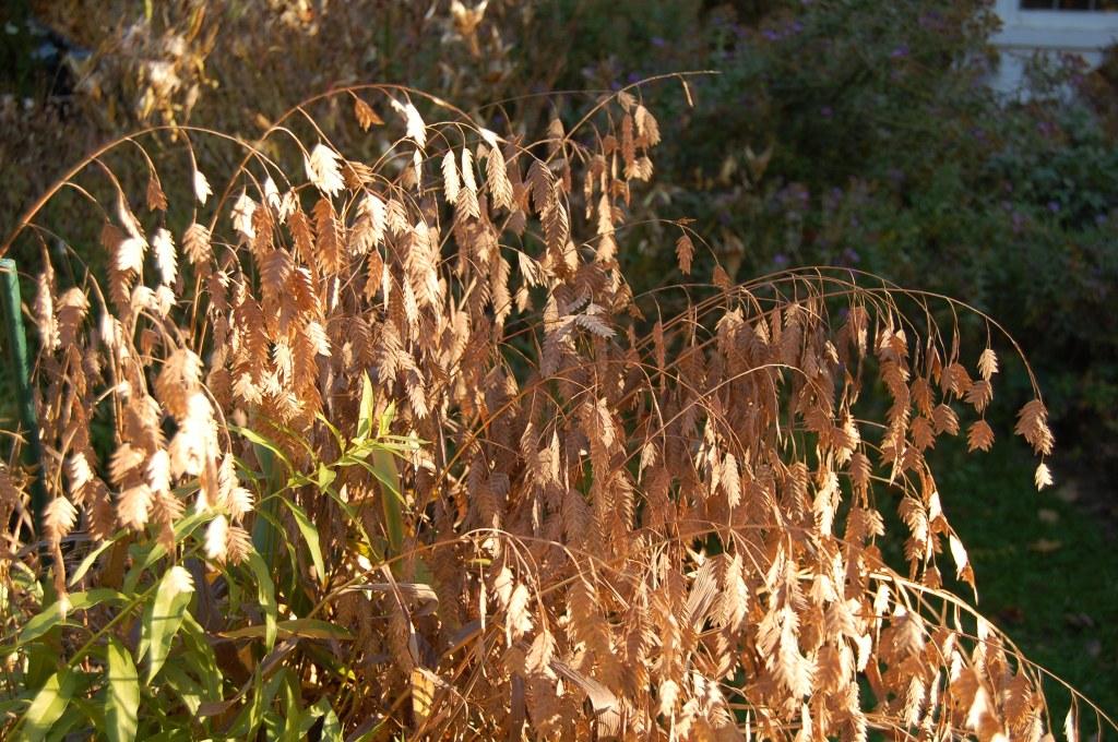 Northern Sea Oats, Chasmanthium latifolium