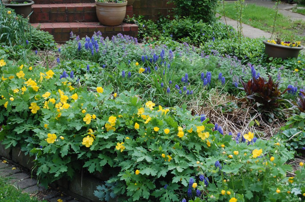 Celandine Poppies, Grape Hyacinths