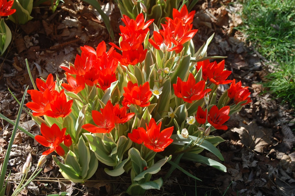 Species tulip 'Fusilier'