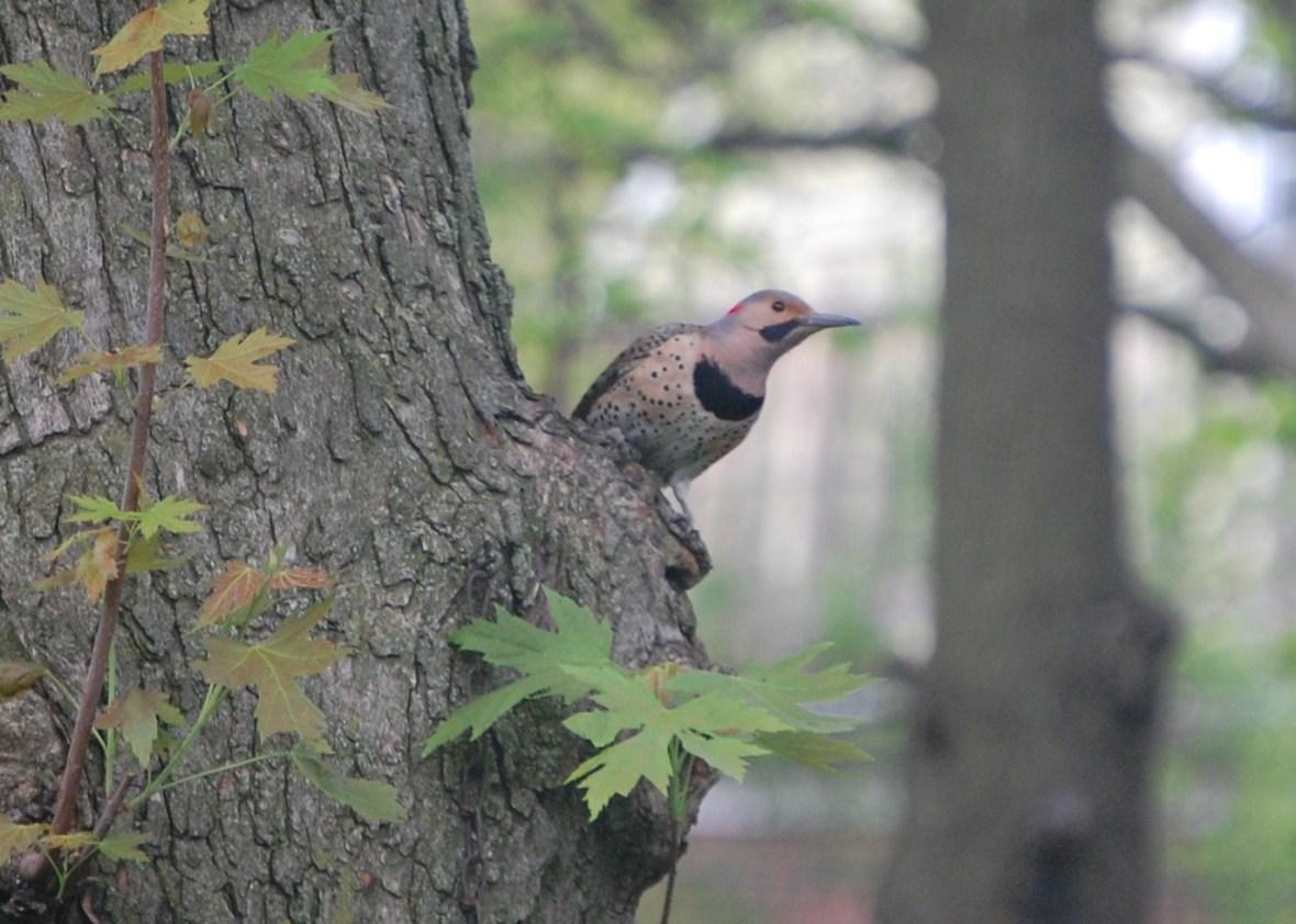 Northern Flicker on Silver Maple tree.
