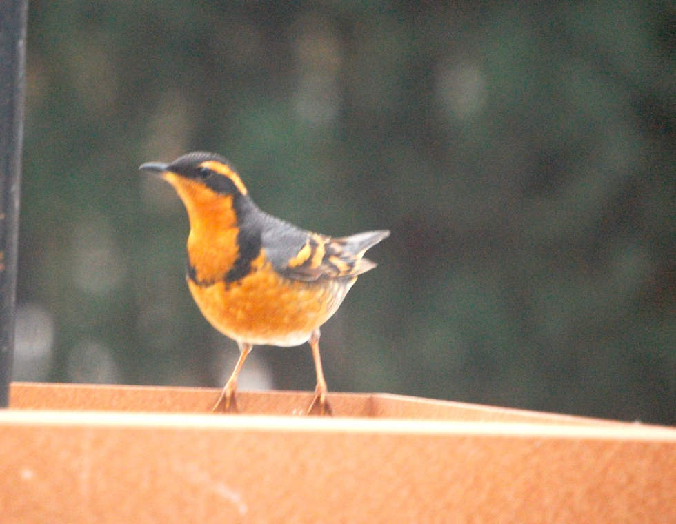 Varied Thrush, Eastern Meadowlark