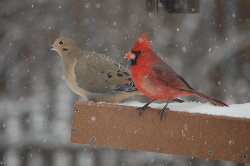 Cardinal, Mourning Dove