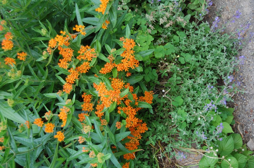 Butterflyweed, Asclepias tuberosa