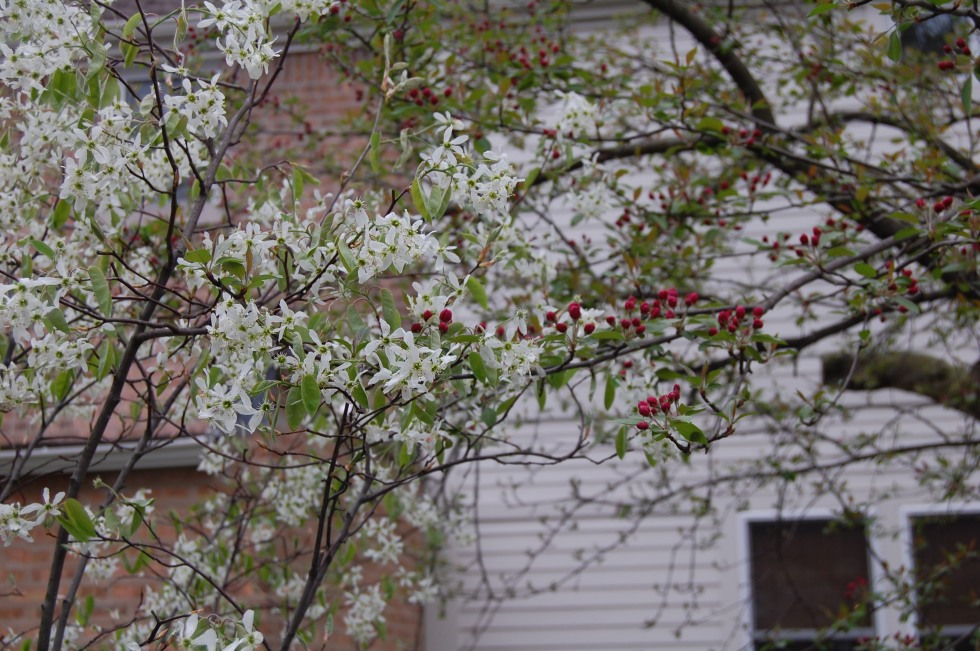 Serviceberry 'Autumn Brilliance'