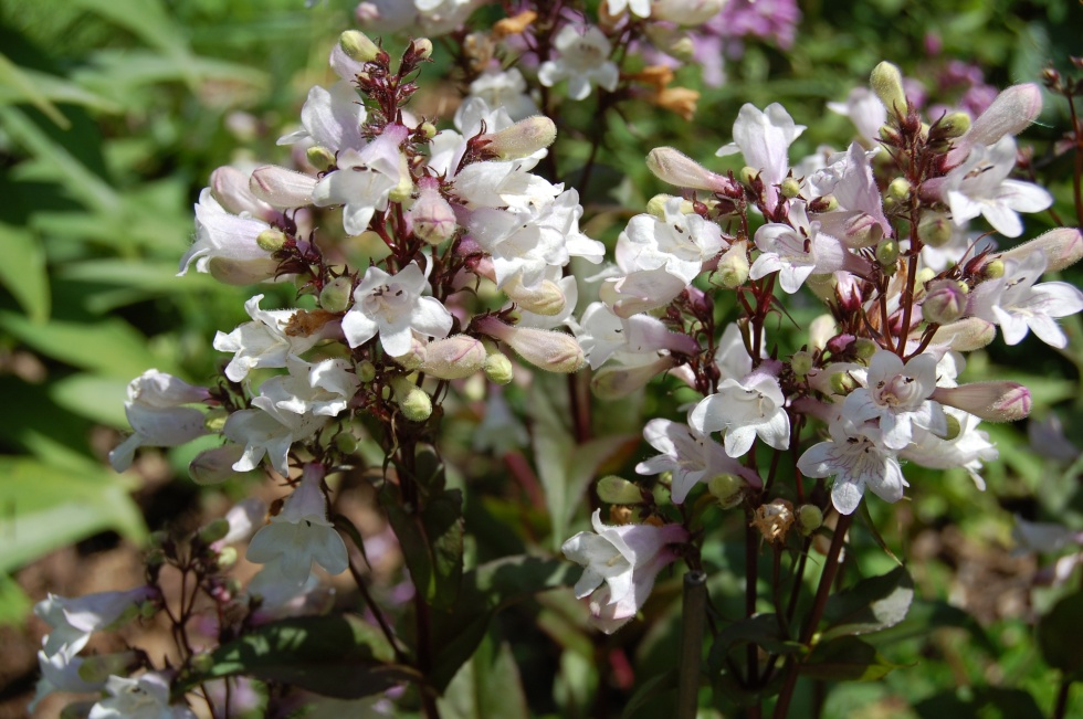 Smooth Penstemon