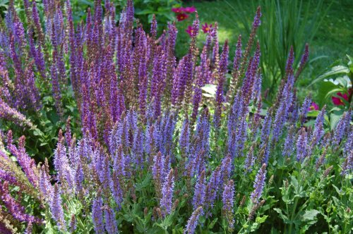 Salvia 'Blue Hill', Salvia 'May Night'