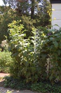 Cup Plant, Silphium perfoliatum