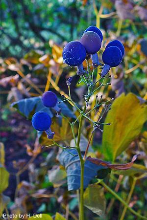 Blue Cohosh, Caulophyllum thalictroides