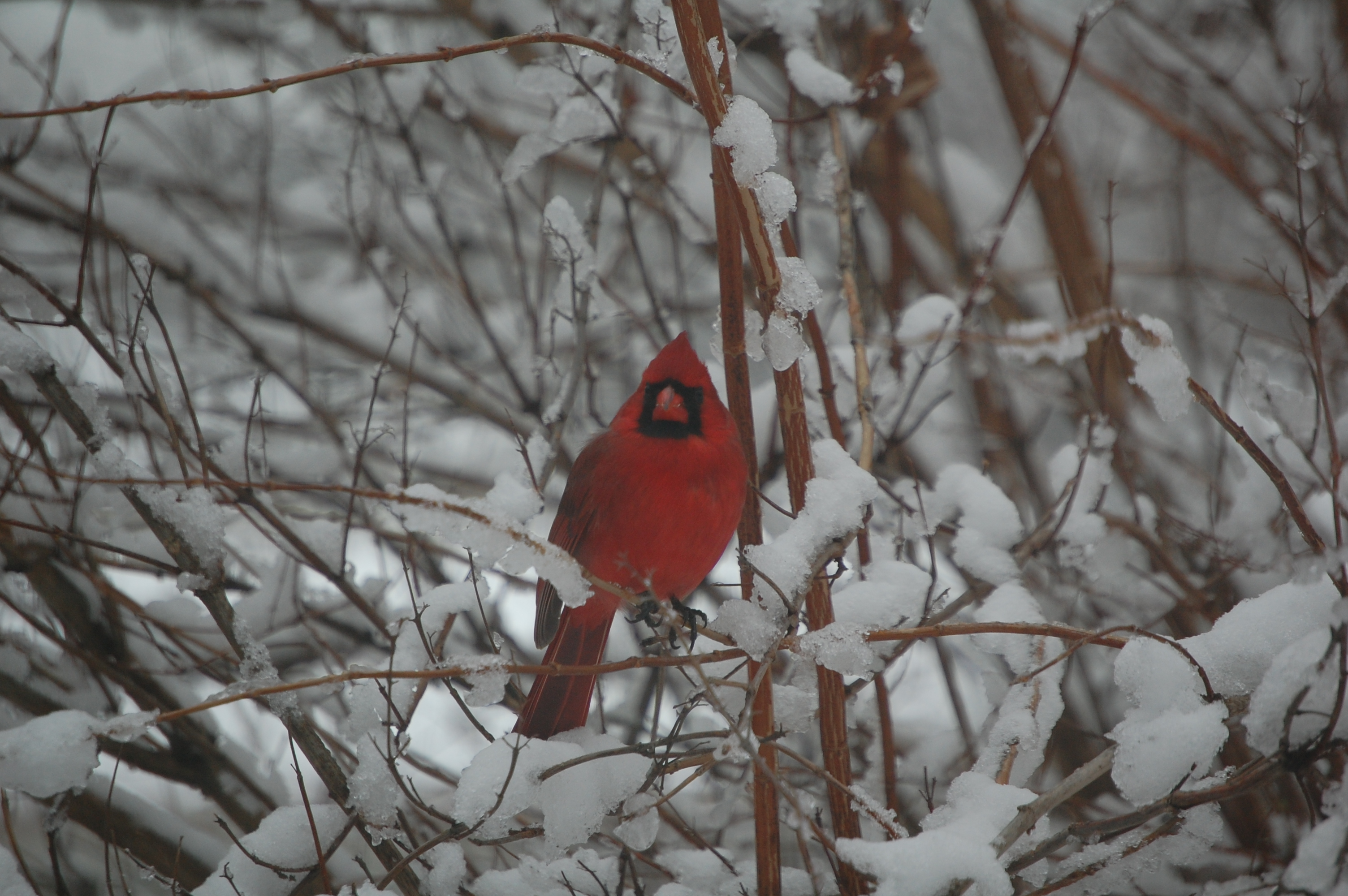 Cardinals in the snow gardeninacity - Pictures of cardinals in snow ...