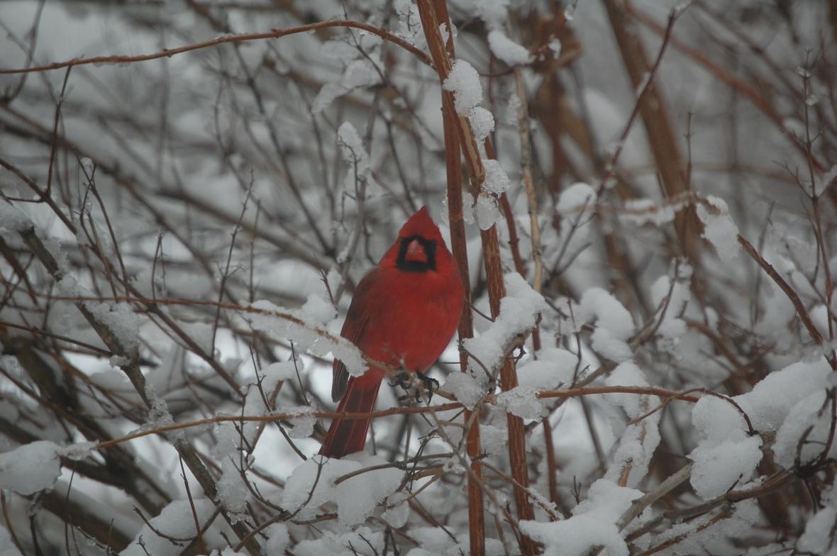 Cardinal, Deutzia