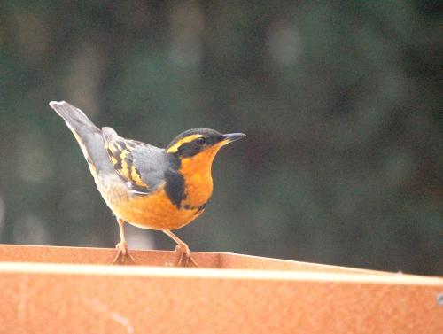 Varied Thrush: A Star is Born