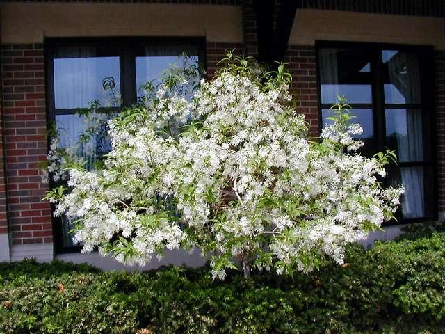 Fringe Tree, Chionanthus virginicus