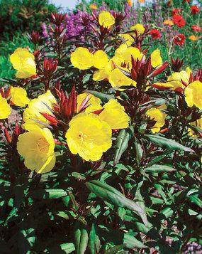 Sundrops, Oenothera fruticosa 'Summer Solstice'