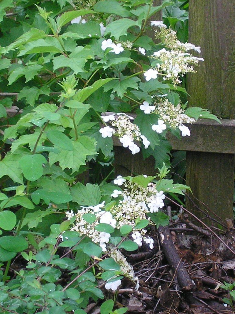 Cranberrybush Viburnum, Viburnum trilobum