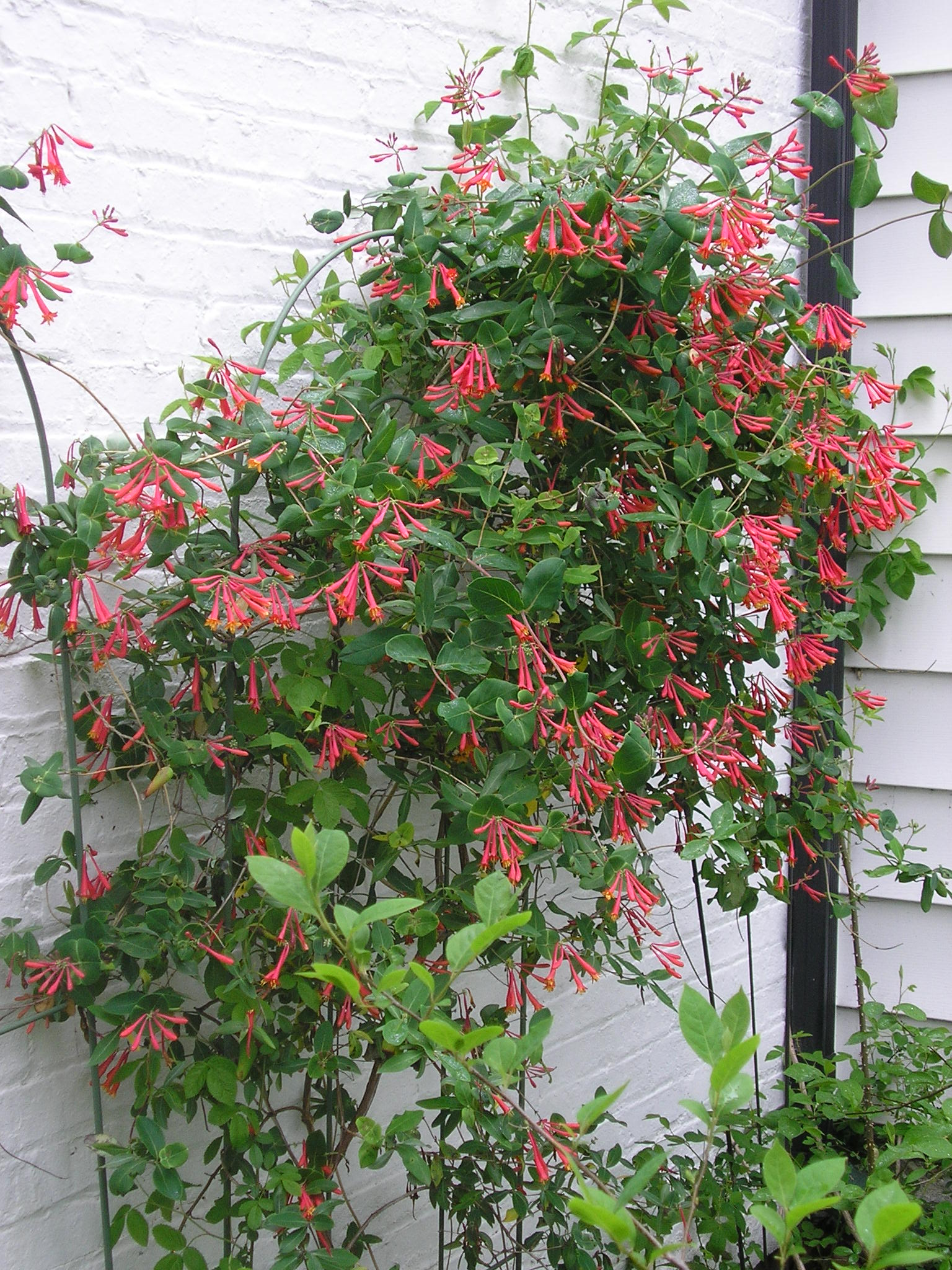 My Five Favorite Shrubs And Vines For Attracting Birds