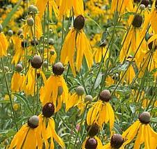 Yellow Coneflower, Ratibida pinnata