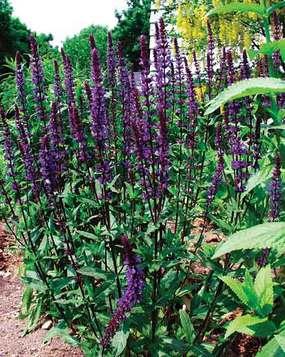 Salvia nemerosa 'Carradonna'