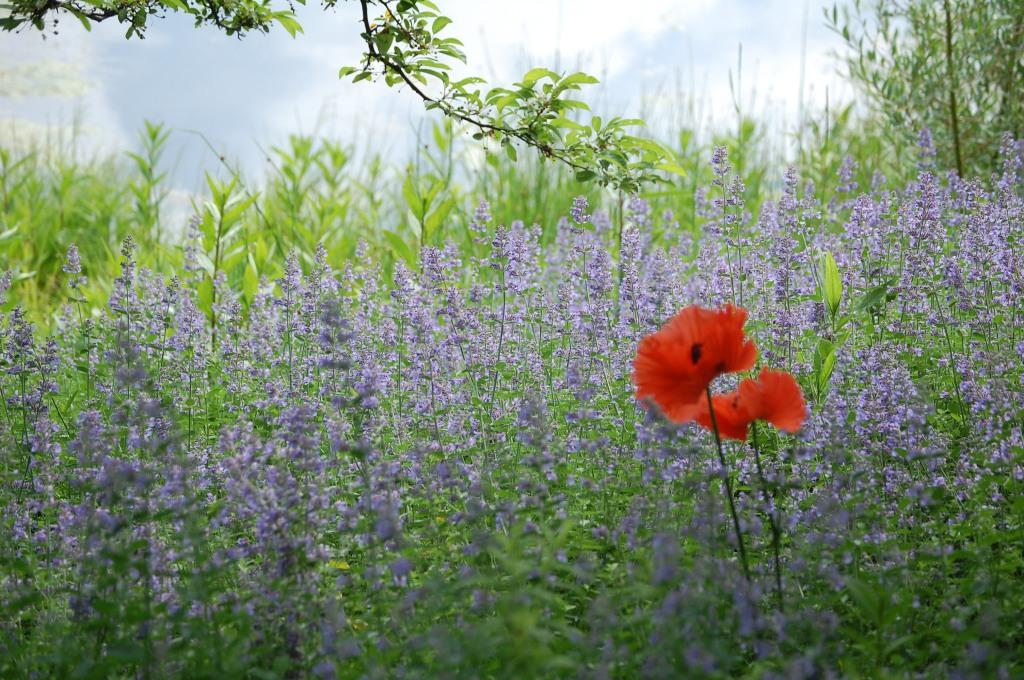 Caryopteris, Red Poppy