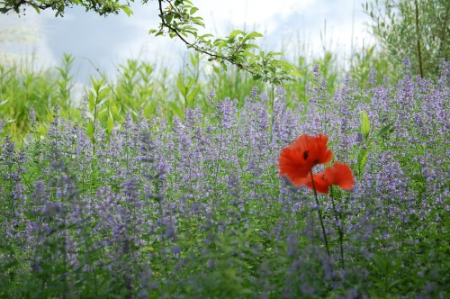 Caryopteris, Red Poppy