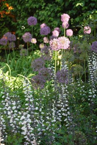 Allium and White False Indigo