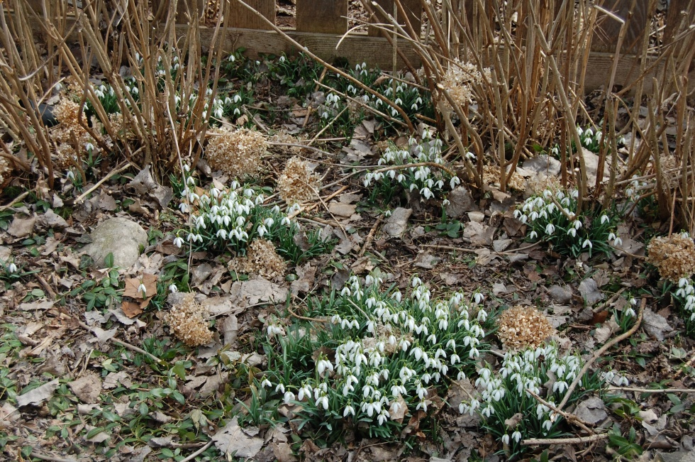 Snowdrops, Galanthus