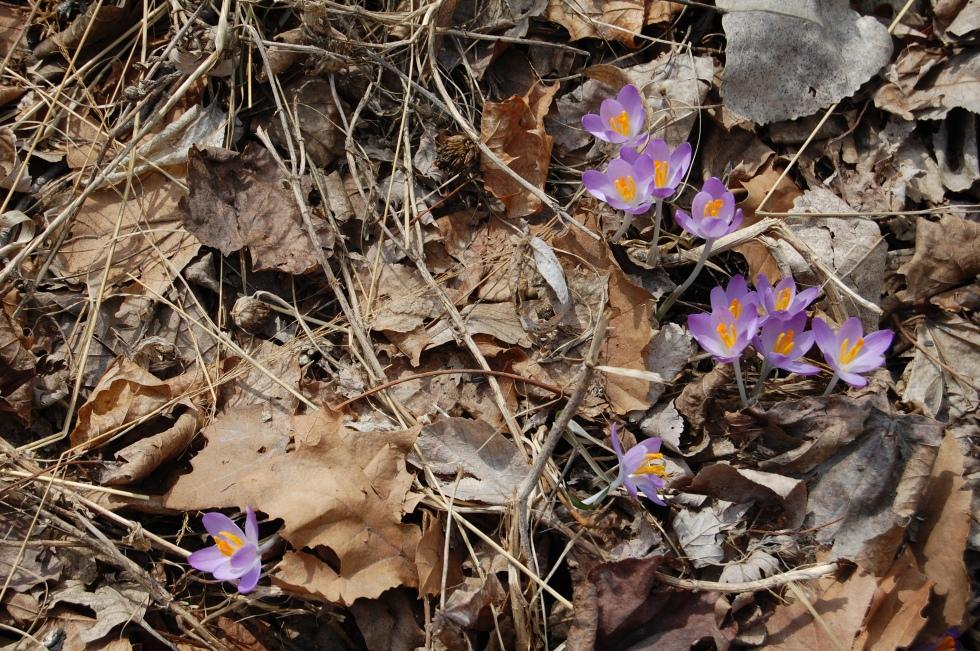 Crocus tommasinianus 'Baar's Purple'
