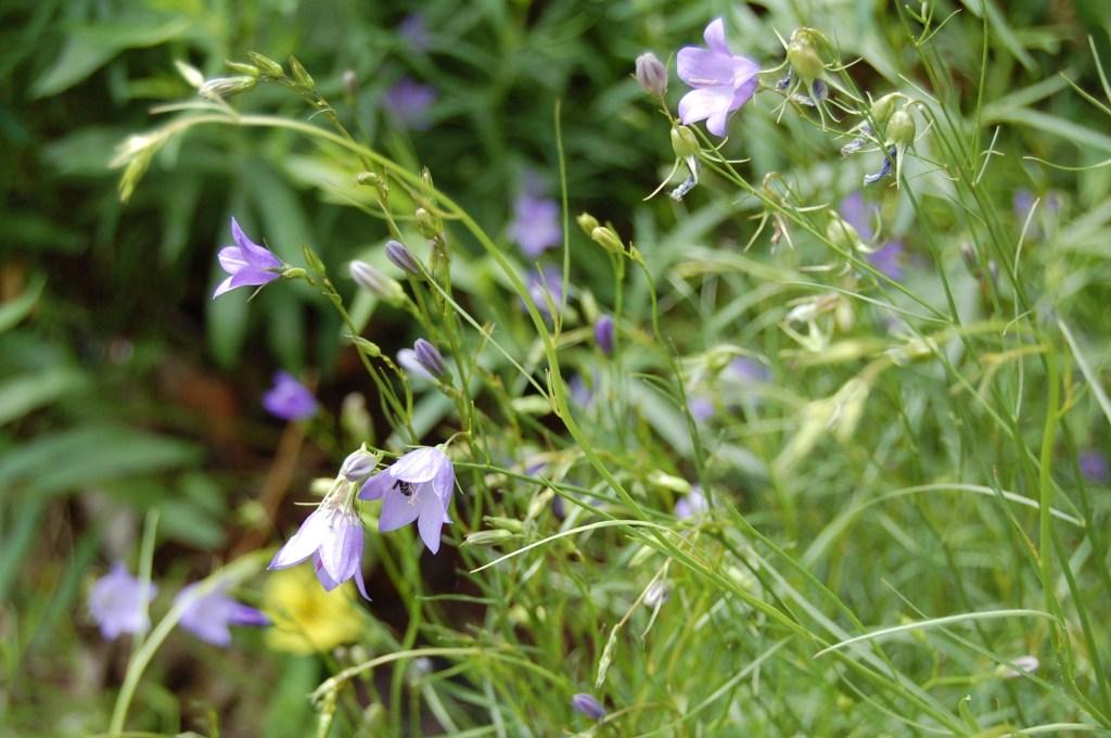 Harebell, Campanula rotundifolia