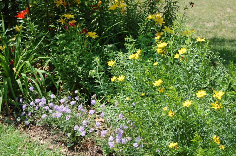 Scabiosa 'Butterfly Blue' and Lanceleaf Coreopsis