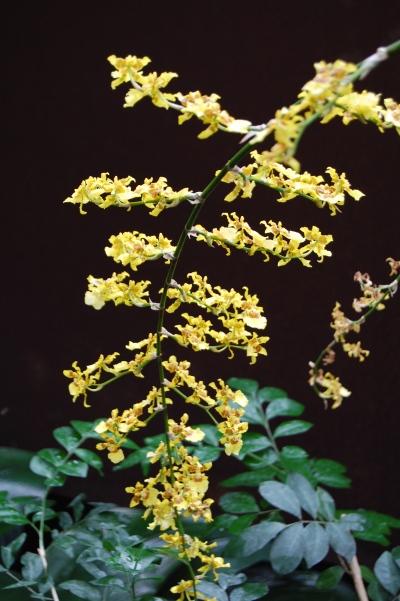 Popcorn Orchid