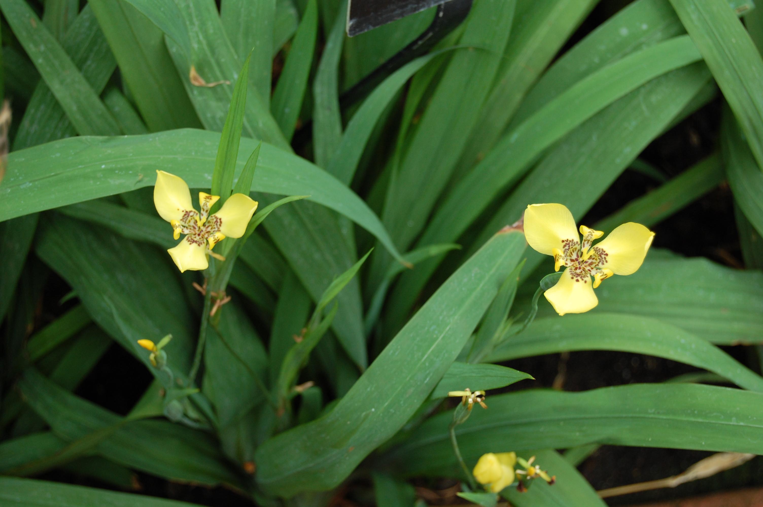 Garfield park conservatory part ii blooms for gbbd gardeninacity yellow walking iris izmirmasajfo