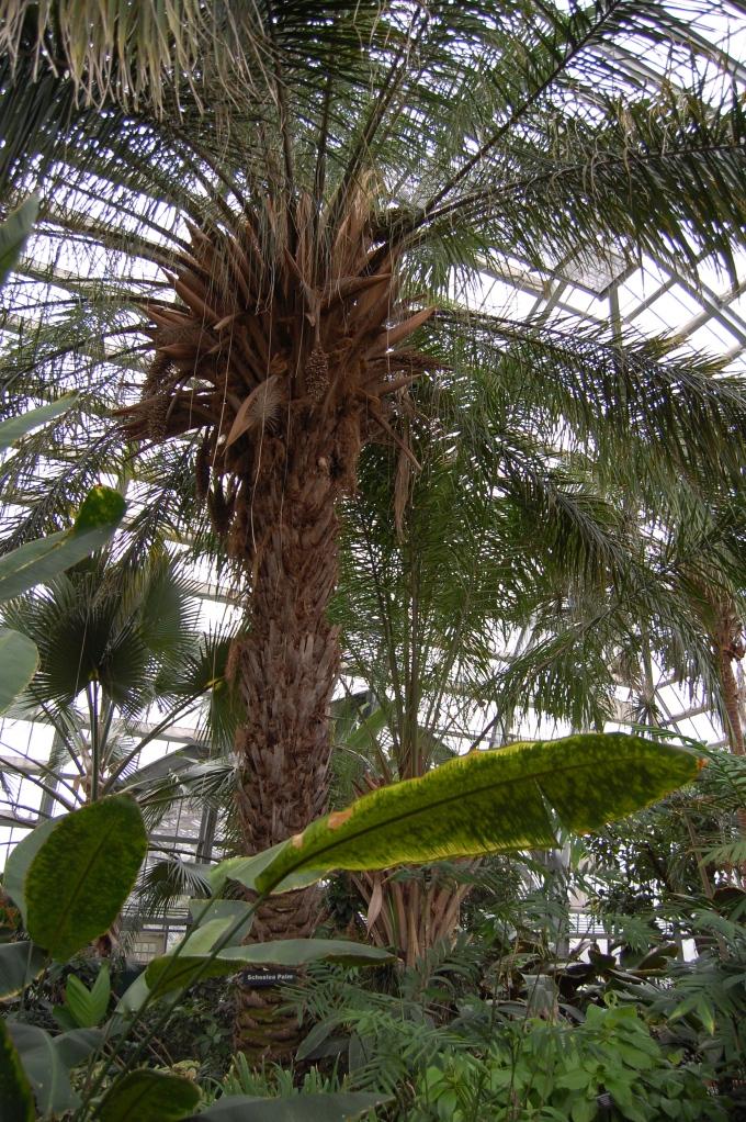 Scheelea Palm