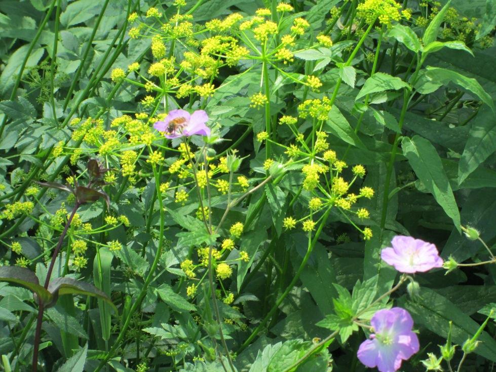 Golden Alexander, Wild Geranium