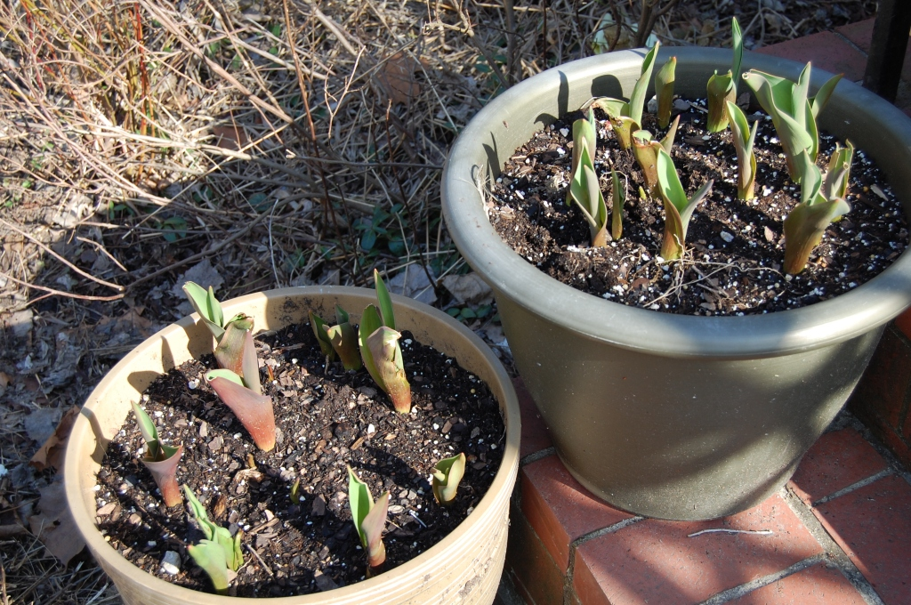 Tulips in Containers