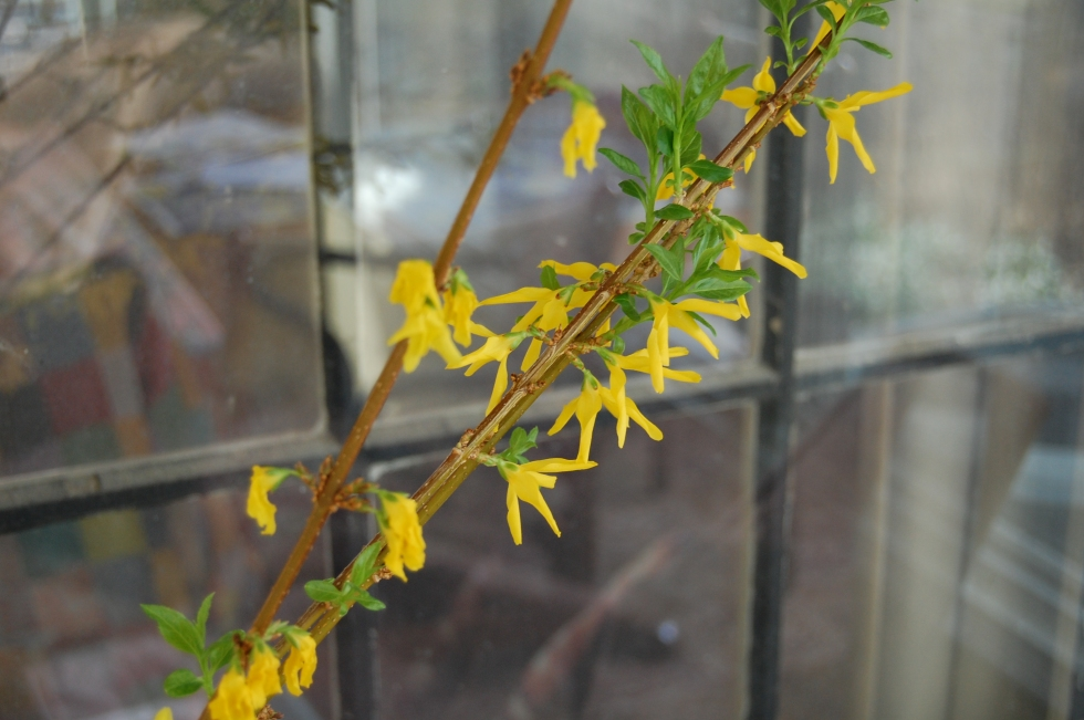 Forced Forsythia stems
