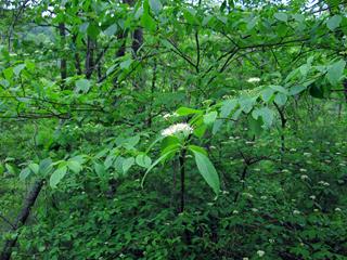 Pagoda Dogwood, Cornus alternifolia