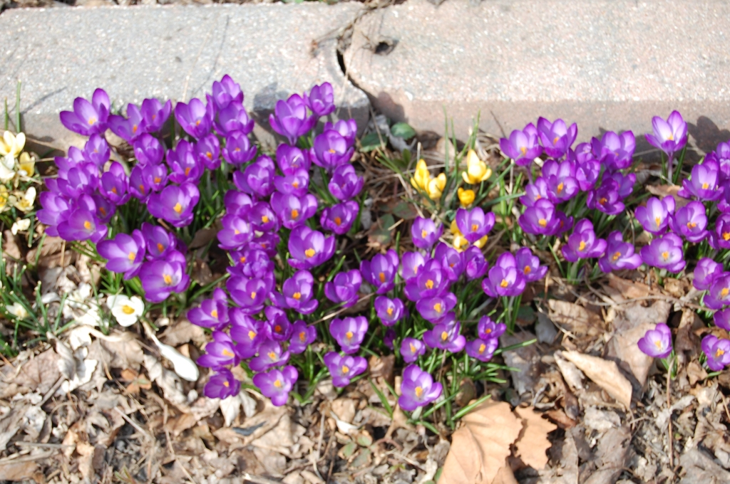 Crocus vernus 'Twilight'