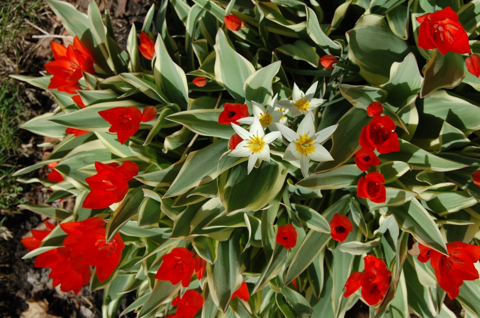 Tulipa praestans 'Unica' and Tulipa turkestanica