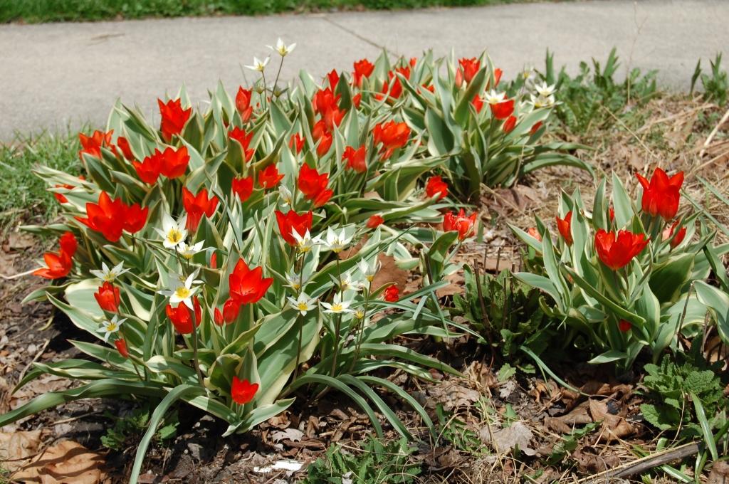 Tulipa linifolia and Tulipa turkestanica