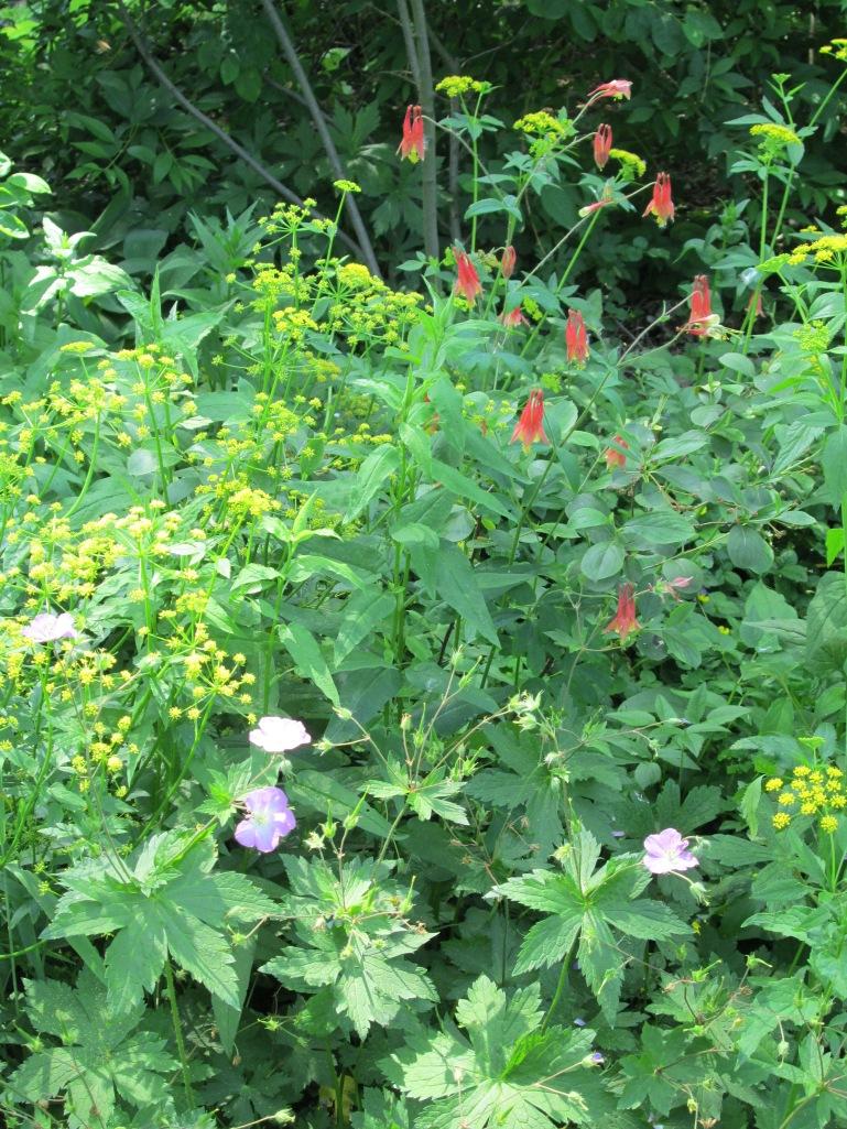 Columbine, wild geranium, golden alexander