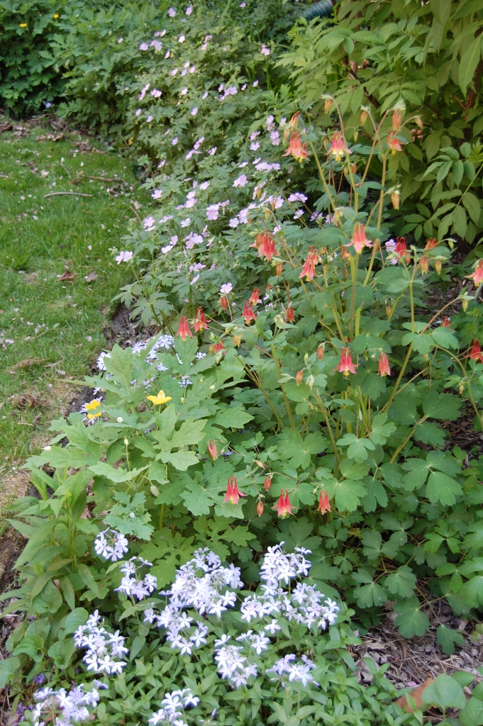 Woodland Phlox, Wild Columbine, and Wild Geranium in the east side bed.