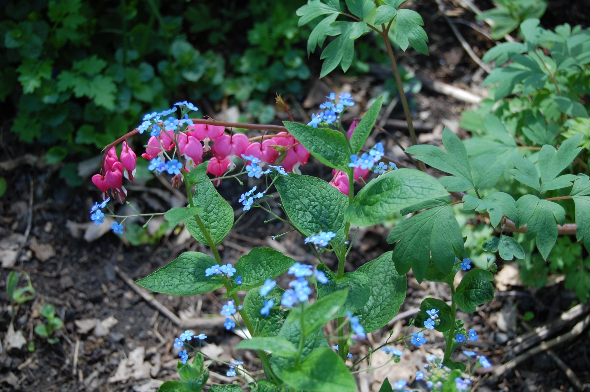 Bleeding Heart with False Forget-Me-Not