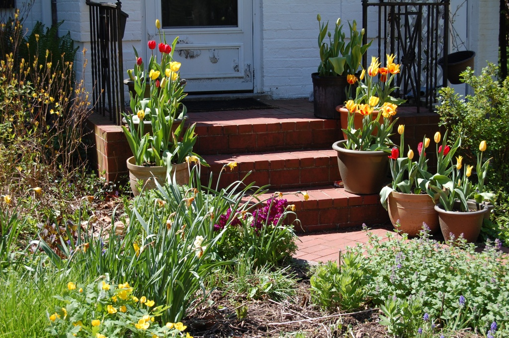 Tulips in Containers on the front steps.