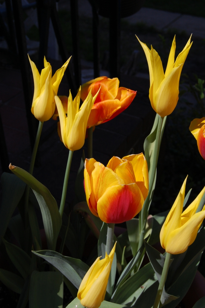 Tulip 'West Point'